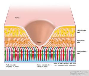 fovea and receptors