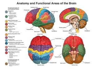 functional areas brain
