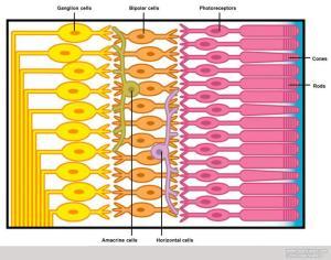 retina-layers