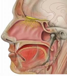 Olfactory_nerve cross sec