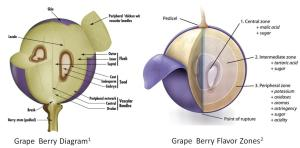 grapeberry_diagram_and_flavorzones
