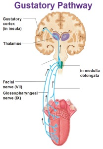 gustatory-pathway-cortex-in-insula-facial-and-glossopharyngeal-nerve-in-medulla-oblongata