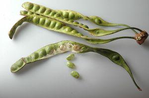 sato beans Parkia speciosa