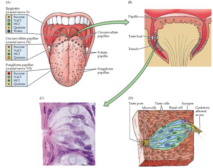 Anatomy of smell