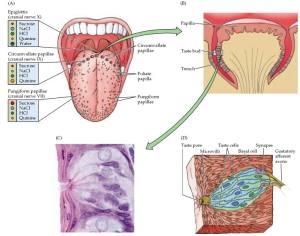 taste buds anatomy