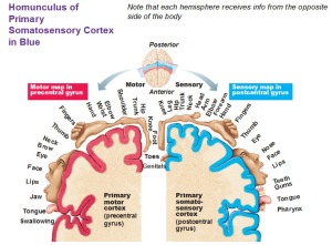 homunculus-of-primary-somatosensory-cortex-in-blue