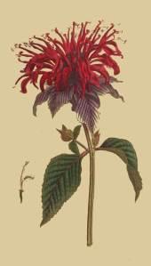 145-Monarda-Fistulosa-var-Crimson-Monarda