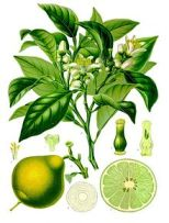 220px-Citrus_bergamia_-_Köhler–s_Medizinal-Pflanzen-184