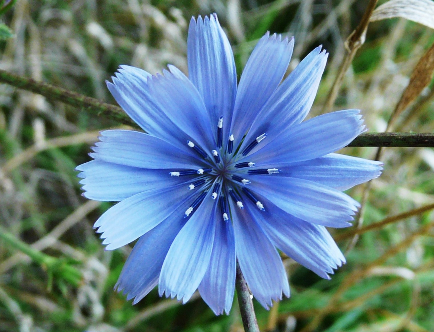 chicory | WINE FOR SOUL
