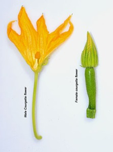 courgette-male-female-flower-identification