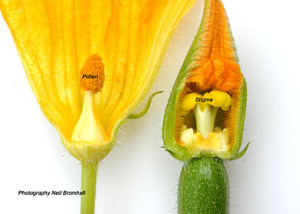 male-and-female-courgette-flowers-pollen-stigma1